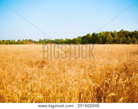 Photo of wheat spikelets in field, forest