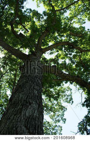 Large old Oak Tree, the Iowa State Tree, Oak Tree