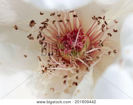 Beautiful Pink And White Rose Stamen Macro Texture Close Up