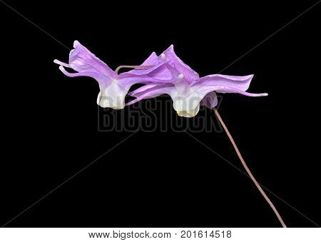 A close up of the flowers barrenwort (Epimedium macrosepalum). Isolated on black.