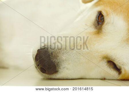 white dog nose sleepy on tile floor