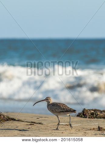Whimbrel, shore bird, standing on the beach in Laguna Beach, California, with the surf and ocean in the background.