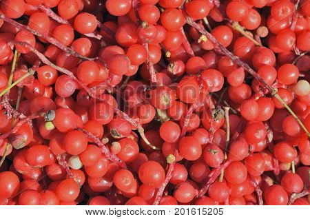 A close up of the berries of Far-Eastern medicinal plant (Schisandra chinensis).