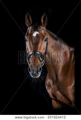 Riding Horse Head Black Background