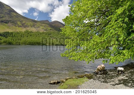 Sheep and lamb by Buttermere, English Lake District