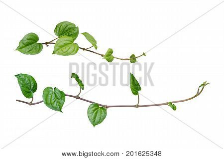 ivy. vine plants ivy leaves of the climbing plant isolated on white background clipping path included.