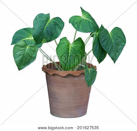 Interior and outside plant tree in a pot isolated on white background for interior design house plant pot design clipping path included.