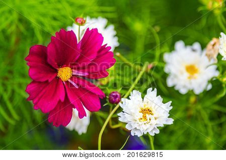 Beautiful purple and white decorative cosmos flowers in the garden, hybrid cosmos bipinnatus called Double Click