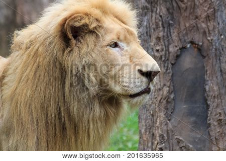 Close Up Young head lion is skinny in the nature.