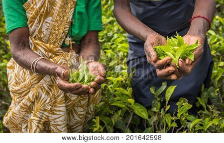 Tea pickers in Nuwara Eliya Sri Lanka