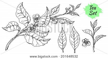 Branch of tea bush with leaves and flowers. Botanical drawing. Sketch set. Realistic. Nature. Organic product. Vector isolated on white background eps.10