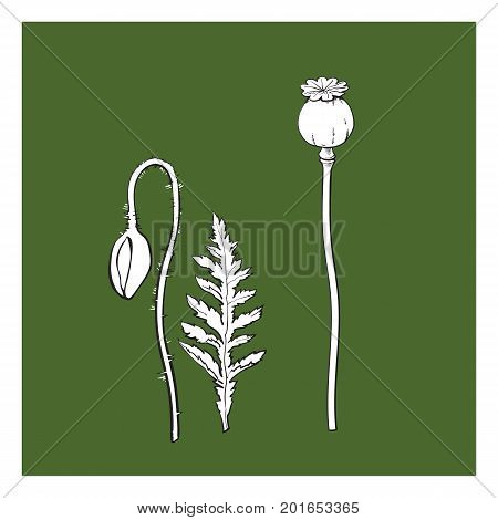 Vector black and white poppy flower stem with closed bud , leaf set. Isolated illustration on a green background. Realistic hand drawn blossom with stem.