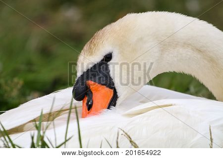 An adult Mute Swan preening it's wing feathers