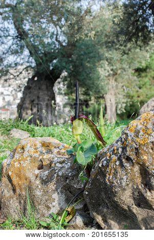 Wild Black Callas Or Wild Arum, Solomon's Lily Flowers