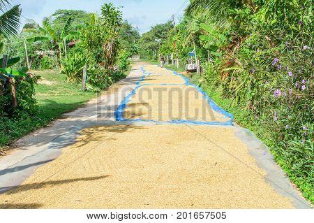 Paddy seed jasmine rice in outdoor. Thai farmer dry paddy jasmine rice on ground under strong sunlight .