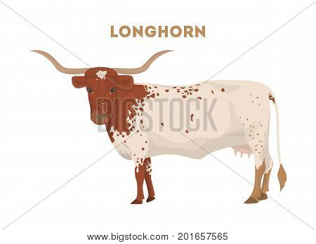 Isolated longhorn cow on white background. Farm animal.
