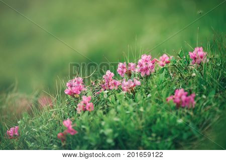 Pink rhododendron flowers growing in mountains, nature floral background