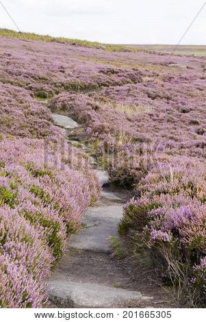 Derbyshire, UK - Aug 2015: Pathway throush a landscape filled with pink heather in flower on 24 Aug on Hathersage Moor, Peak District