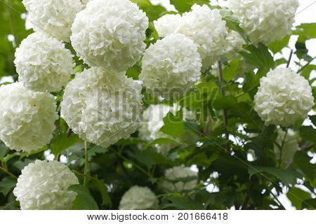 Blossoming bush of a guelder rose. horizontal