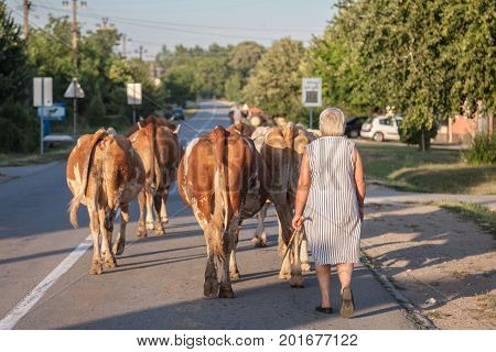 DUBOVAC SERBIA - AUGUST 3 2017: Peasant woman conducting her herd of cows on a street of Dubovac a small agricultural village of central Serbia