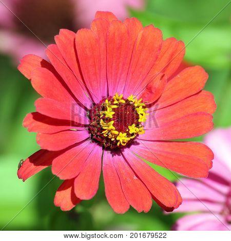 Red elegant zinnia flower in garden. Zinnia elegans