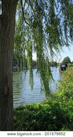 River Thame Through Weeping Willow