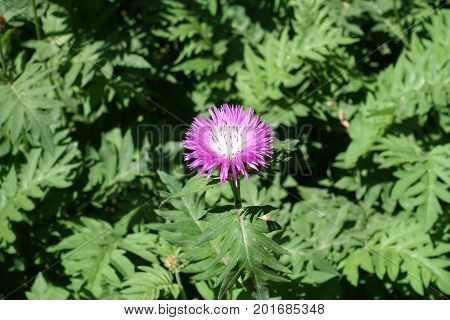 Single Pink Flower Head Of Centaurea Dealbata
