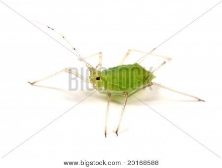 Greenfly On White