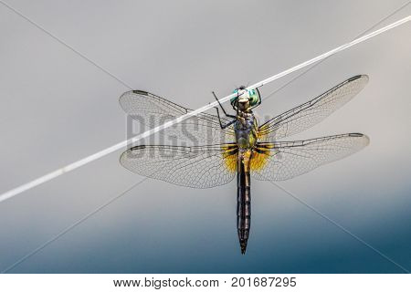 A horizontal macro photo of a dragonfly hanging from a wire with a blue and grey background