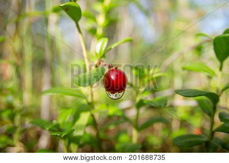 Drop Water In Ripe Red Cowberry Grows In Pine Forest.