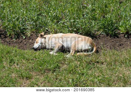 Sleeping single stray dog in the grass
