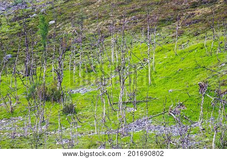 Birch trees and grass background tundra view in Norway