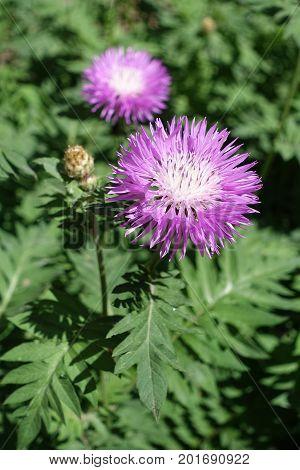 Big Pale Pink Flowers Of Persian Cornflower