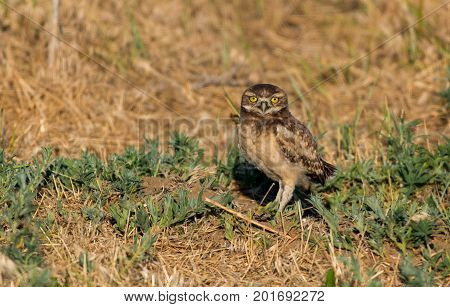 A Burrowing Owl Fledgling at its Burrow
