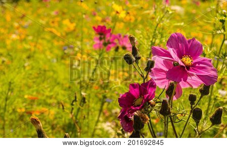 a whole field of crowded flowers in Caludon castle park, Coventry, GB