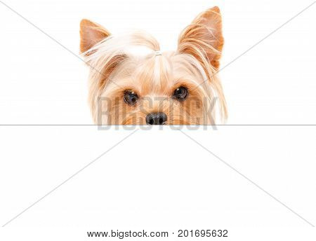 Portrait of funny Yorkshire terrier, peeking from behind a banner, isolated on white background