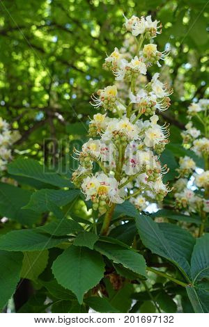 Close Up Of Single Panicle Of Horse Chestnut