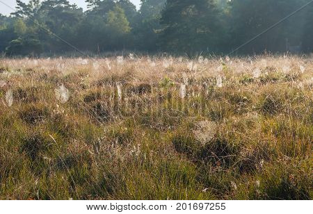 Lots of dewy spider webs between the grass and the flowering heath of a Dutch nature reserve early in the morning.
