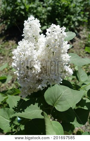 Flowering Branch Of White Lilac In Spring