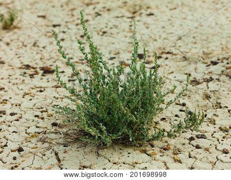 grass on dry dirt close up