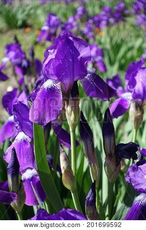 Violet Flowers And Buds Of Bearded Iris