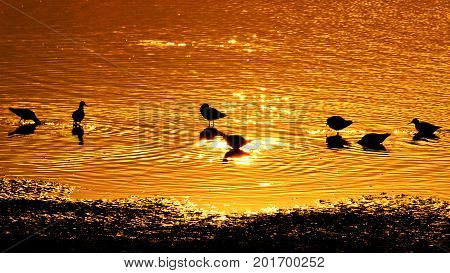 Golden water and silhouettes of birds , wildlife