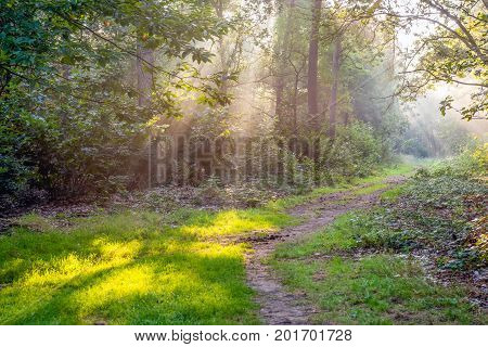 Wonderfully sunny rays shine through the tall trees of the picturesque Dutch forest on the early morning in the summer season. The atmosphere is still damp of the morning dew.