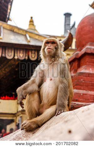 Monkey Living In The Swayambunath Temple, Kathmandu, Nepal