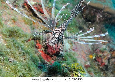 Common Lionfish (pterois) swimming on coral reef