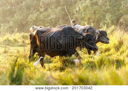 Buffalos At The Chitwan National Park, Nepal