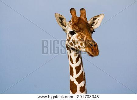 Portrait of a reticulated giraffe (Giraffe camelopardalis). Ol Pejeta Conservancy Kenya. poster