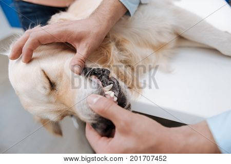 Strong teeth. Close up of male hands that touching mouth of sleepy dog
