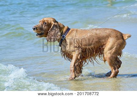 Cute English Cocker Spaniel on the beach after bathing