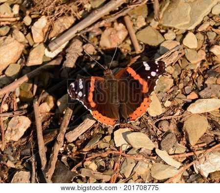 A Red Admiral (Vanessa atalanta) butterfly, sometimes called a Red Admirable, sunning itself on a gravel beach on a lake in York County Pennsylvania